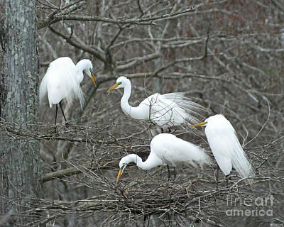 Photograph - Family Affair Egrets Louisiana by Lizi Beard-Ward