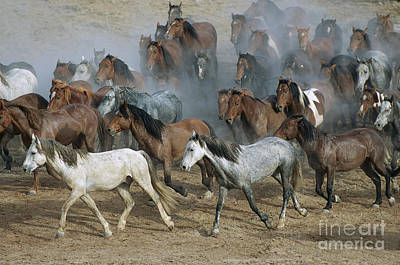 Photograph - Family Band Of Mustangs  by Yva Momatiuk and John Eastcott