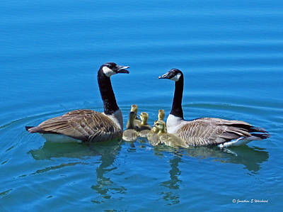 Family Canada Geese Art Print by Jonathan Whichard