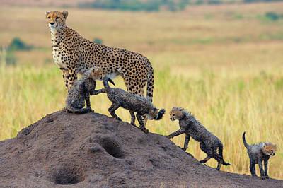 Cheetah Wall Art - Photograph - Family by Mohammed Alnaser
