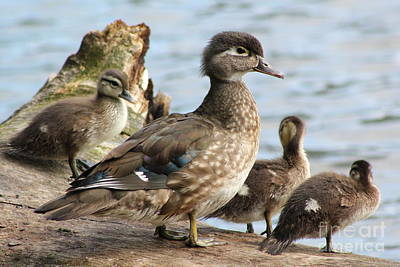Family Of Ducks Art Print by Michael Paskvan