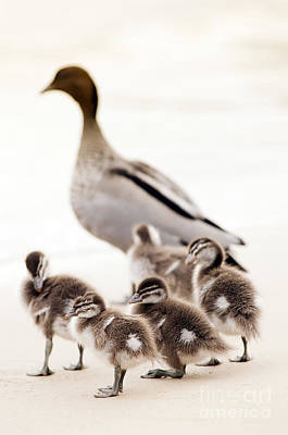 Duckling Photograph - Family Of Ducks by Tim Hester