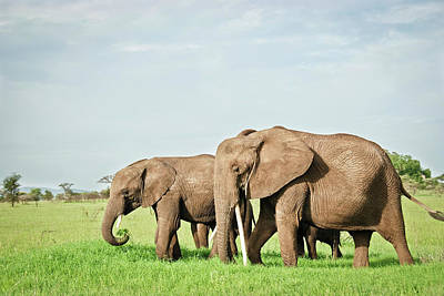 Photograph - Family Of Elephants Eating Grass In by Volanthevist