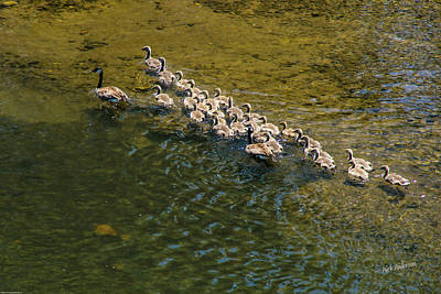 Photograph - Family Of Geese On The Rogue River by Mick Anderson