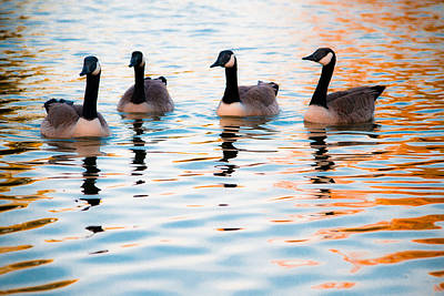 Family Of Geese Art Print by Shelby  Young