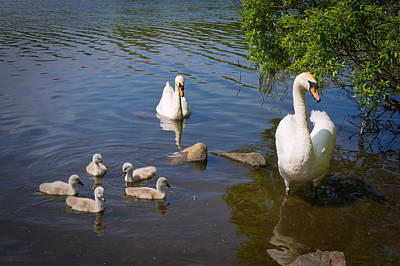 Photograph - Family Of Swans by Jane McIlroy