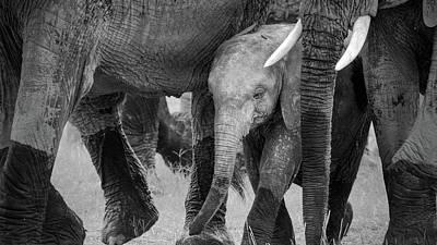 Baby Elephant Wall Art - Photograph - Family Protection by John Fan
