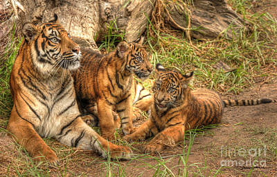Traci Law Photograph - Tiger Family by Traci Law