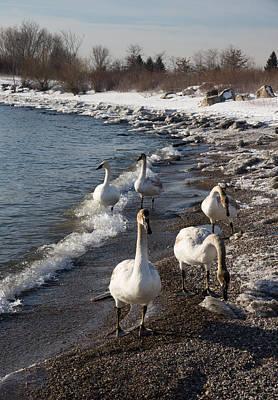 Photograph - Family Walk On The Beach - Wild Trumpeter Swans Lake Ontario Toronto by Georgia Mizuleva
