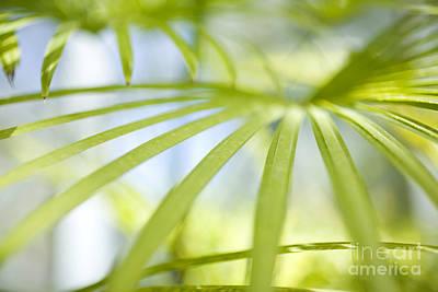 Fan Palm Fronds Print by Charmian Vistaunet