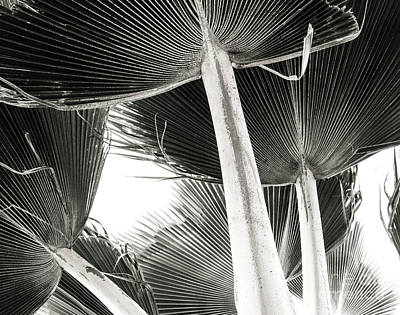 Photograph - Fan Palm by Lisa Cortez