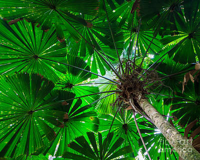 Fan Palm Tree Of The Rainforest Art Print by Peta Thames