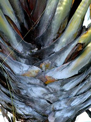 Photograph - Fan Palm Tree by Phoenix De Vries