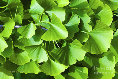 Photograph - Fan Shaped Leaves by Richard J Thompson