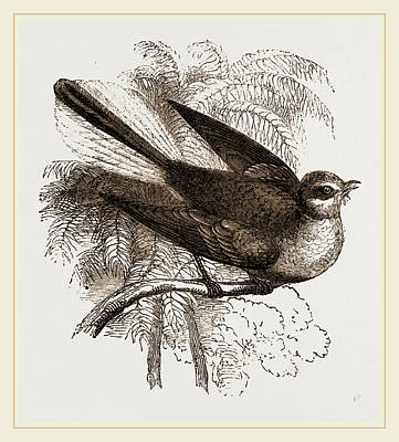 Flycatcher Drawing - Fan-tailed Flycatcher by Litz Collection