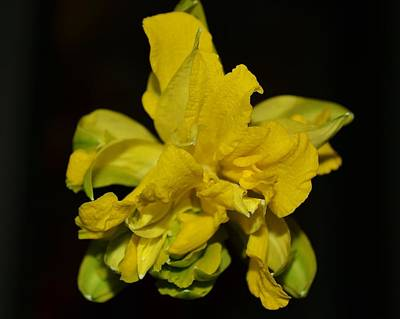 Art Print featuring the photograph Fancy Daffodil by Mary Zeman