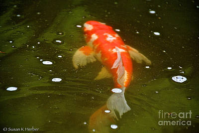 Photograph - Fancy Fins by Susan Herber