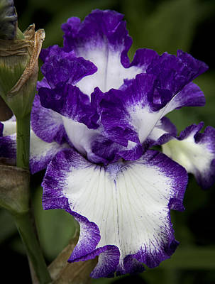 Shelburne Falls Photograph - Fancy Iris by Michael Friedman
