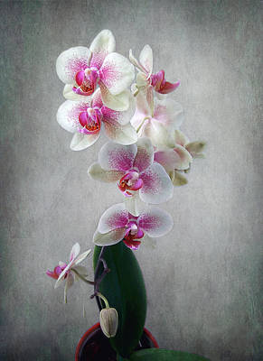 Print featuring the photograph Fancy Orchids by Louise Kumpf