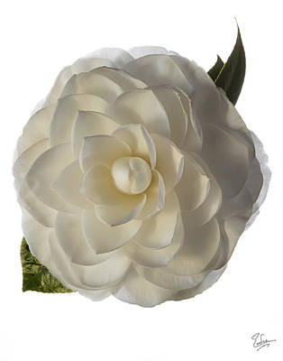 Photograph - Fancy White Camellia by Endre Balogh