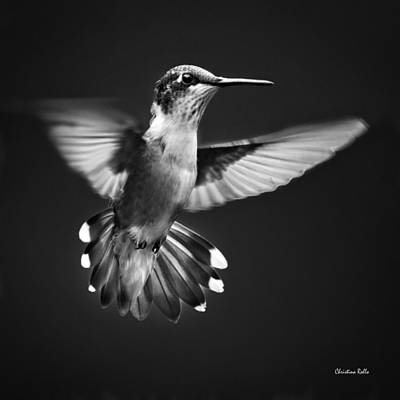 Photograph - Fantail Hummingbird by Christina Rollo