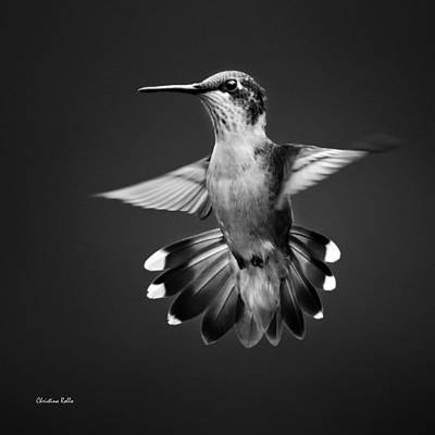 Photograph - Fantail Hummingbird Square Bw by Christina Rollo
