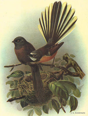 Claw Painting - Fantail by Dreyer Wildlife Print Collections