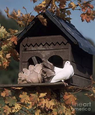 Pigeon Photograph - Fantail Pigeons At Birdhouse by Hans Reinhard