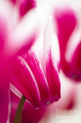 Cyclamen Photograph - Fantasia by Anne Gilbert
