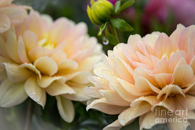 Photograph - Fantasy Dahlias by Patricia Babbitt