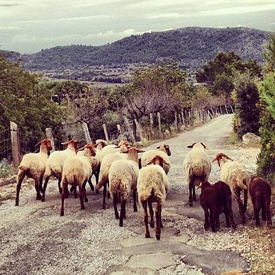 Sheep Photograph - #farm #animals Roaming In The by Balearic Discovery