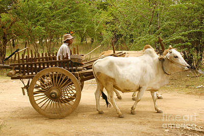 Photograph - Farmer Driving An Ox Cart Old Bagan Burma by Ralph A  Ledergerber-Photography