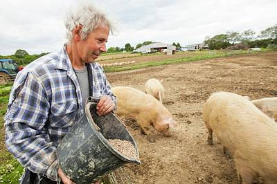 Organic Foods Photograph - Farmer Feeding Organic Middle White Pigs by Ashley Cooper