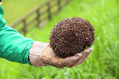 Farmer Rescues Hedgehog From Cattle Grid Art Print