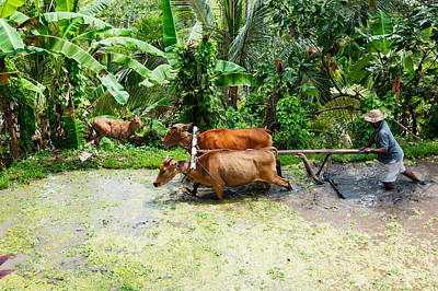 Working Animals Photograph - Farmer With Oxen Working In Paddy by Panoramic Images
