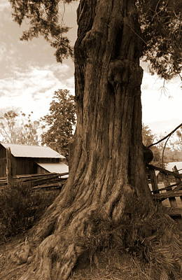 Farmstead Grand Ole Cedar Art Print by Sheri McLeroy
