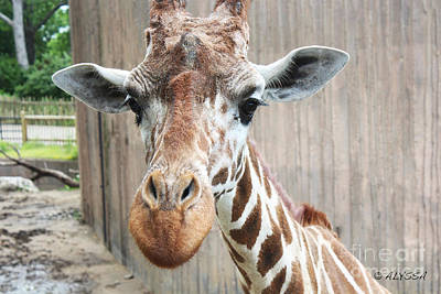 Alyssa Photograph - Fast Walker Giraffe 4 by Alyssa Rogers