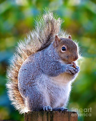 Photograph - Fat Squirrel by Mark Miller