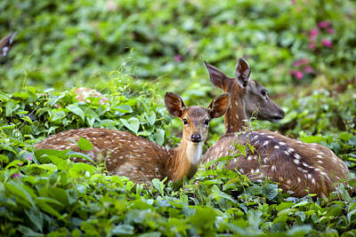 Fawn And Mother Deer In Forest Art Print by Paul Kennedy