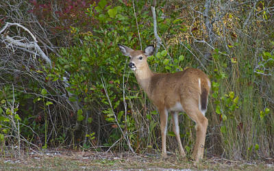 Photograph - Fawn At Asseteague Island by Greg Vizzi