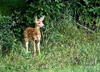 Photograph - Fawn by Cheryl Baxter