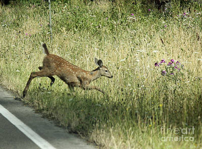 Photograph - Fawn Crossing by Chris Anderson