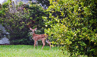 Photograph - Fawn by Donna Proctor