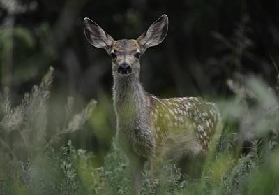 Photograph - Fawn--high-grass-19-cody-wyo by Rae Ann  M Garrett