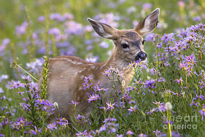 Photograph - Fawn In Asters by Sonya Lang