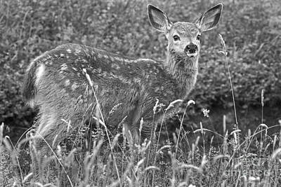 Photograph - Fawn In Black And White by Sonya Lang