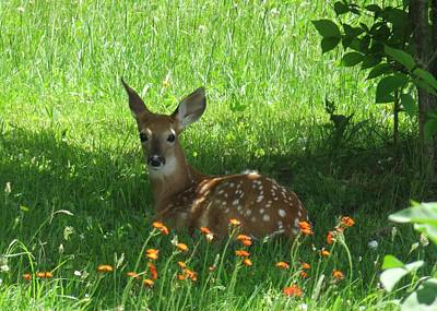 Photograph - Fawn In Shade by Lucinda VanVleck