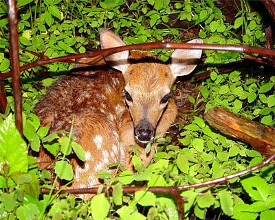 Fawn In The Forest - Award Winning Photograph Original