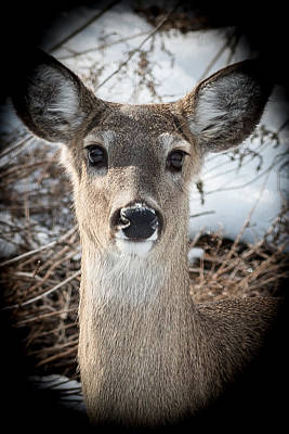 Photograph - Fawn In Winter by Paul Johnson