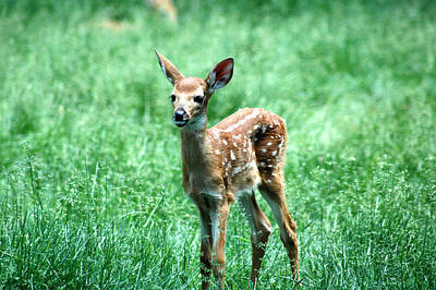 Deer Photograph - Standing Fawn by Michael Barry